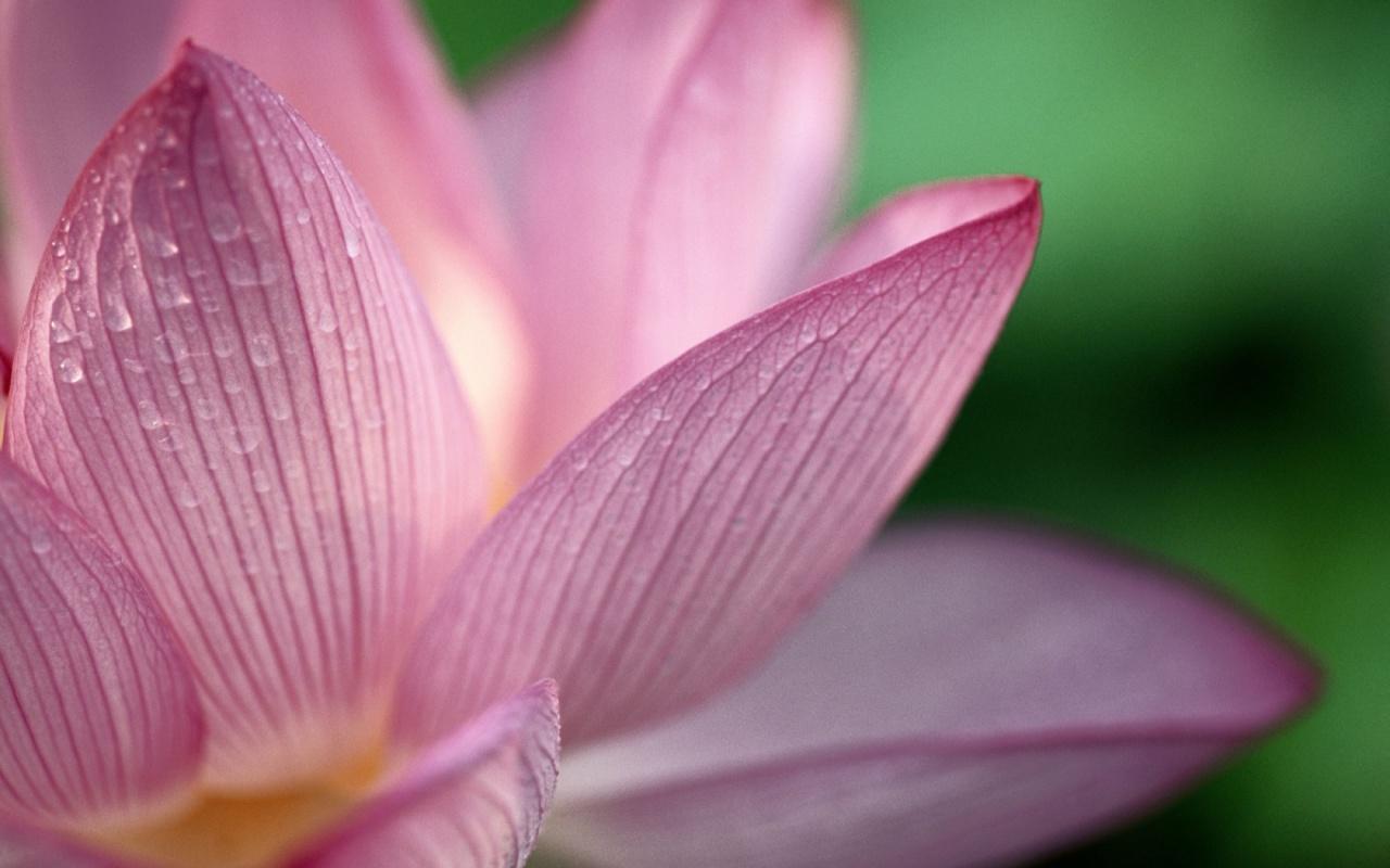 Lotus wallpaper umer prince lotus wallpaper izmirmasajfo